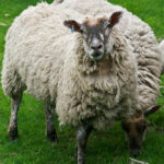 swedish sheep