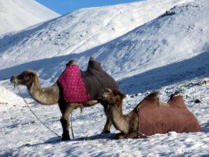 Mongolia,Camel,MusicForTheeyes