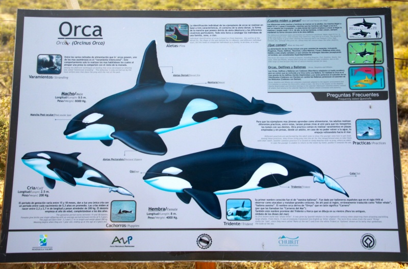 Poster of Orcas in Peninsula Valdes