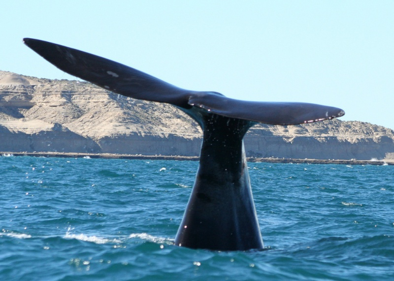Southern Right Whale at Peninsula Valdes. © Richard Towell/flickr
